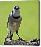 Blue Jay Meal Time Canvas Print