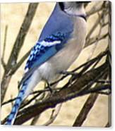Blue Jay In A Bush Canvas Print
