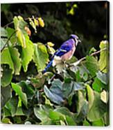 Blue Jay In A Tree Canvas Print