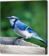 Blue Jay In Backyard Feeder Canvas Print