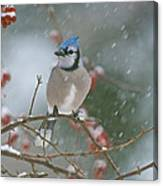 Blue Jay In Snow Canvas Print