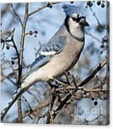 Blue Jay.. Canvas Print