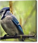Blue Jay On A Misty Spring Day Canvas Print