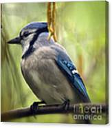 Blue Jay On A Misty Spring Day - Square Format Canvas Print