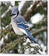 Blue Jay On Hemlock Canvas Print