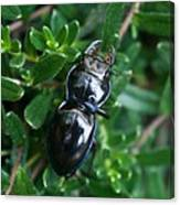 Blue Lined Beetle Canvas Print