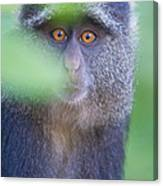 Blue Monkey Cercopithecus Mitis, Lake Canvas Print