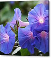 Blue Morning Glory Wildflowers - Convolvulaceae Canvas Print