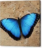 Blue Morpho #2 Canvas Print
