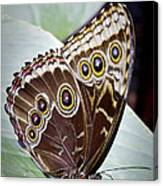 Blue Morpho Butterfly Costa Rica Canvas Print