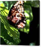 Blue Morpho Butterfly Canvas Print