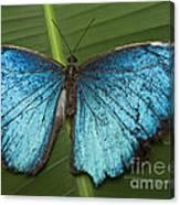 Blue Morpho - Morpho Peleides Canvas Print