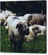 Blue Mountain Sheep Canvas Print