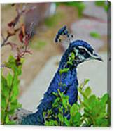 Blue Peacock Green Plants Canvas Print