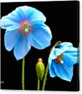 Blue Poppy Flowers # 4 Canvas Print