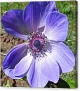 Blue Poppy Anemone Canvas Print