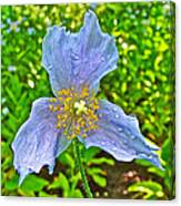 Blue Poppy In Les Jardins De Metis Or Reford Gardens Near Grand-metis-quebec Canvas Print