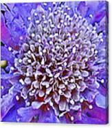 Blue Scabiosa In Park Sierra Near Coarsegold-california   Canvas Print