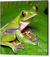 Blue-sided Tree Frog Canvas Print