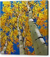 Blue Sky and Tall Aspen Trees Canvas Print