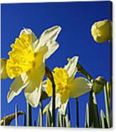 Blue Sky Spring Bright Daffodils Flowers Canvas Print