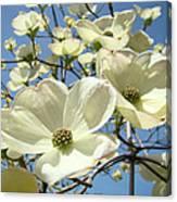 Blue Sky Spring White Dogwood Flowers Art Prints Canvas Print