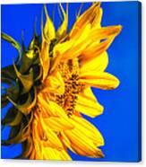 Blue Sky Sunshine Sunflower Canvas Print