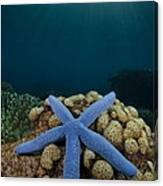 Blue Starfish In Indonesia Canvas Print