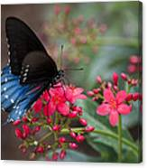 Blue Swallowtail Butterfly  Canvas Print