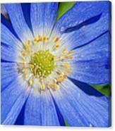 Blue Swan River Daisy Canvas Print