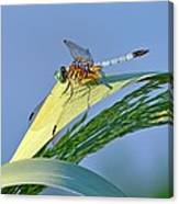 Blue Tail Dragonfly On Navarre Beach Canvas Print