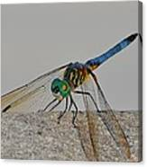 Blue Tail Dragonfly On Navarre Beach2 Canvas Print