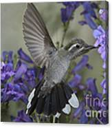 Blue-throated Hummingbird Canvas Print