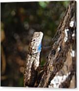 Blue Throated Lizard 4 Canvas Print