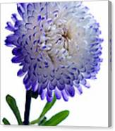 Blue Tipped Aster Canvas Print