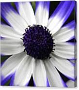 Blue Tipped Osteospermum Canvas Print