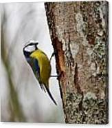 Blue Tit Searching Home Canvas Print