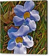 Blue Trumpet Vine In Manuel Antonio's Butterfly Botanical Garden-costa Rica Canvas Print
