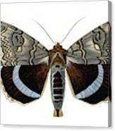Blue Underwing Moth Canvas Print