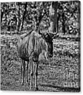 Blue Wildebeest-black And White Canvas Print