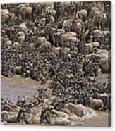 Blue Wildebeest Migration Canvas Print