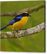 Blue-winged Mountain Tanager Canvas Print