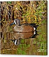 Blue-winged Teal Drake Canvas Print