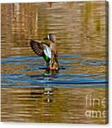 Blue-winged Teal Flapping Canvas Print