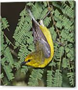 Blue-winged Warbler Canvas Print