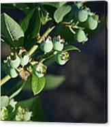 Blueberry Branch Canvas Print