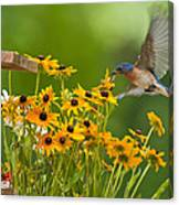 Bluebird Flying Over The Black Eyed Susans Canvas Print