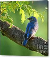 Bluebird In The Morning Canvas Print