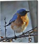 Bluebird In The Snow. Canvas Print