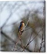 Bluebird In The Sun Canvas Print